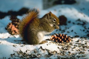 Squirrels are strong enough to rip apart a seed cone.