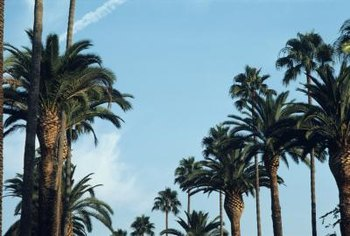 Regal Canary Island date palms can fall to Fusariam wilt in a few months.