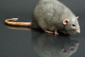 Dead rats pose a potential health problem when left to rot in the HVAC ducts.