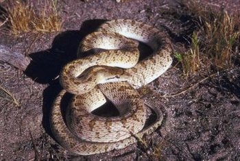 Snakes hibernate during the winter months, emerging in early spring.