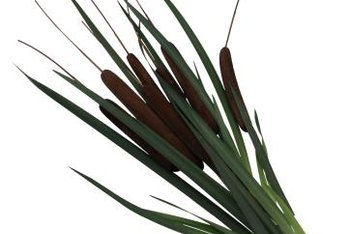 Cattails are one of many plants known to grow in wetland ditches or marshes.