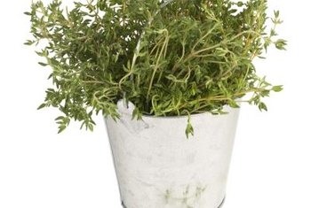 Plant tiny plugs of thyme in decorative pots or as ground-cover.
