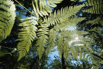 Australian tree ferns may grow as much as 36 inches per season.