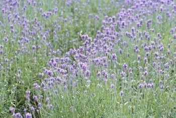Lavender blooms the first year after propagation.