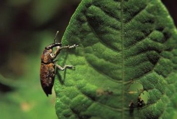 Eating leaves is just one way by which cucumber beetles damage or destroy plants.