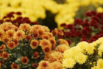 Bright, blooming mums awaken summer-weary gardens.