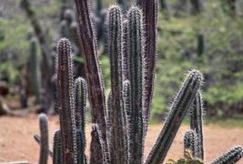 Trim columnar cactuses if growth gets near pathways.