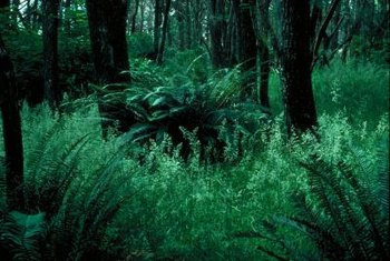 Large bracken ferns produce massive clumps of foliage.
