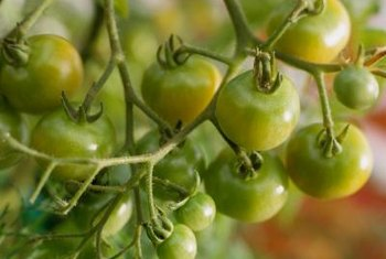 Whiteflies can weaken plants so the tomatoes don't ripen evenly.