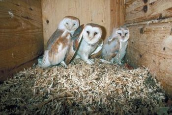 Owls - and other birds - do not belong in your attic. Remove them before they become a problem.