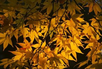 A Japanese maple could be a substitute for a ficus tree.