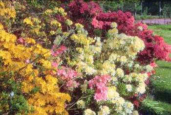 Azaleas bear large blooms in colors ranging from white and yellow through magenta red.