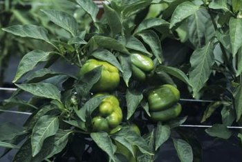 Green bell peppers mature into a wide range of fruit colors.