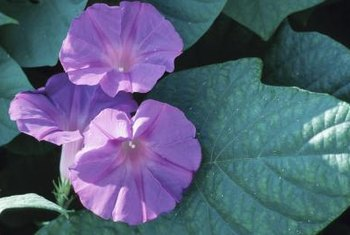 Morning glories are hardy, fast-growing ornamentals.