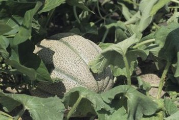 Cantaloupes prefer well-drained soil.
