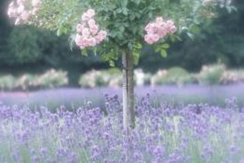 Lavender can be decorative or functional in a landscape.