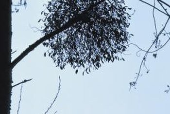 Mistletoe often grows into a spherical shape more than 3 feet wide.