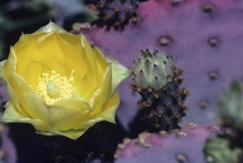 Some cacti produce large, colorful flowers to attract pollinators.