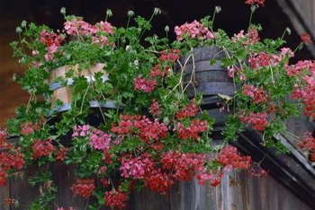 Brightly colored flowers contrast well with wooden barrels.