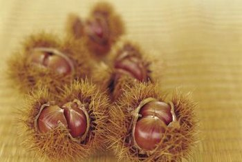 Burr pods each contain one to three seeds.