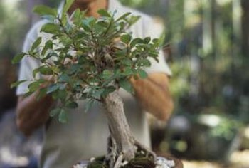 Bonsai is a patient art, requiring years of cultivation.