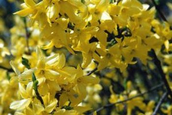 Forsythia blooms on bare branches.