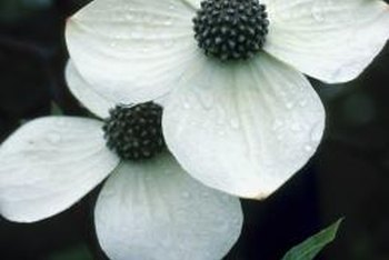 Varieties of dogwood trees bear small flowers surrounded by four bracts.