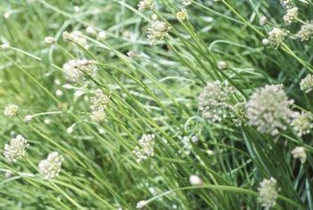 Chives and other alliums help keep spider mites away.