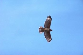 Hawks glide for great distances without moving their wings.