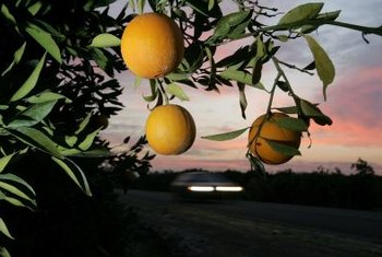 Orange trees are available in different sizes but produce the same fruit.