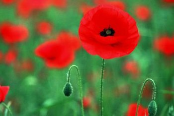 Poppies create a blanket of color in a field or meadow.