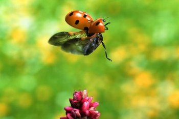 Beneficial insects -- such as the ladybug -- help keep garden pests under control.