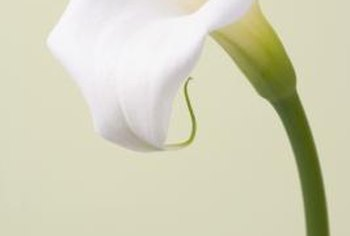 A calla lily is better off looked at than eaten.