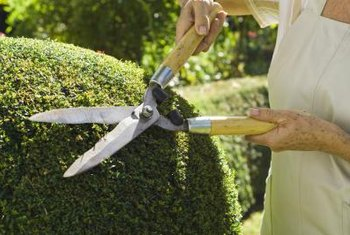Shearing or pruning your shrubs can lead to attractive, healthy plants.