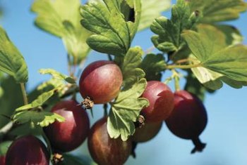 Gooseberries are related to black, white and red currants.