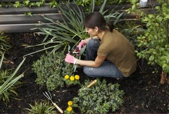 Cutting back flowers directs the plant energy into producing new blooms.