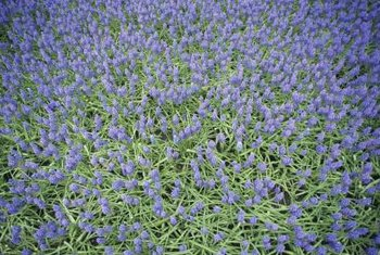 Left to their own devices, grape hyacinths can grow into thick patches.
