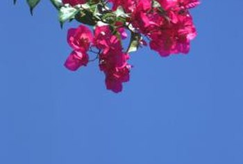Crepe myrtles are known for their bright flower clusters.