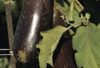 Eggplant leaves are medium green in color and coarsely textured.