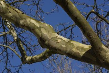 The plated bark of sycamores is a distinctive characteristic.