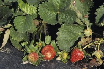 Strawberry leaves may be blemished when diseased.