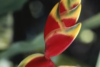 Heliconia grow best in wet rainforest conditions.