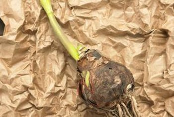 Remove tender bulbs and bring them inside before winter.
