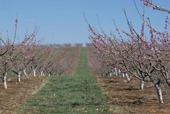 Train and prune peach trees to have an open canopy.