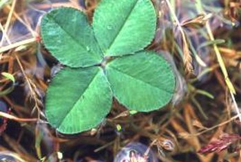 Finding a four leaf clover is one fun reason to grow it in a lawn.
