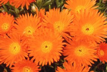 Orange perennial flowers invigorate the garden.