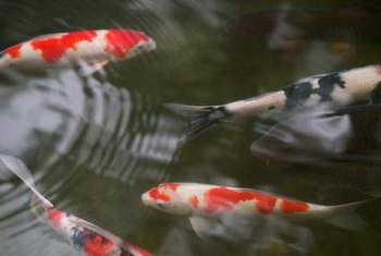 A koi pond is susceptible to various predatory pests.