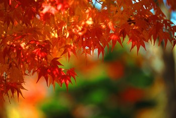 Sweetgum trees provide vivid fall colors in red, yellow and purple.