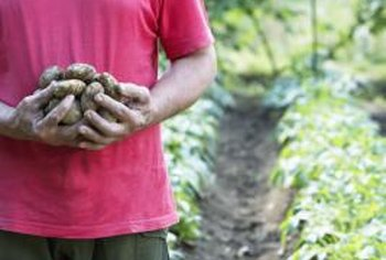 Potatoes grow best in well-draining, loamy soil.