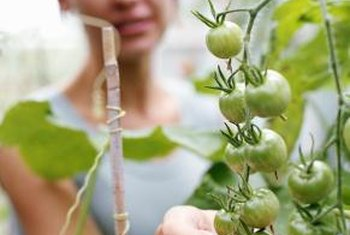 Monitor tomato plants for spots, which indicate disease or insect activity.